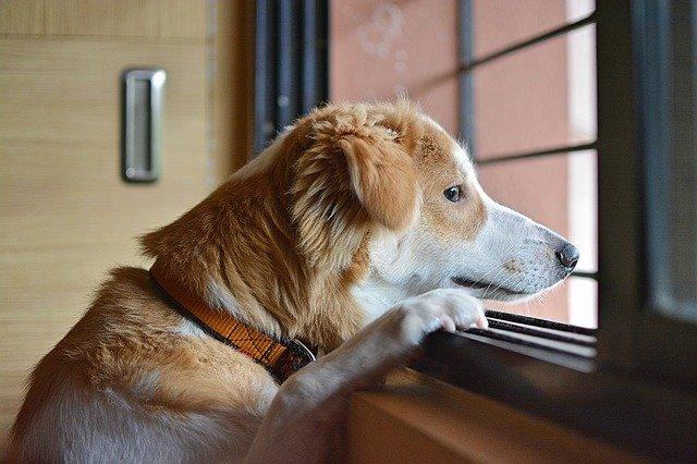 COVID-19 Lockdown, Separation & Dog Behaviour Problems